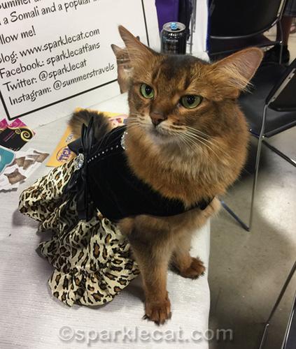 somali cat in fancy new dress