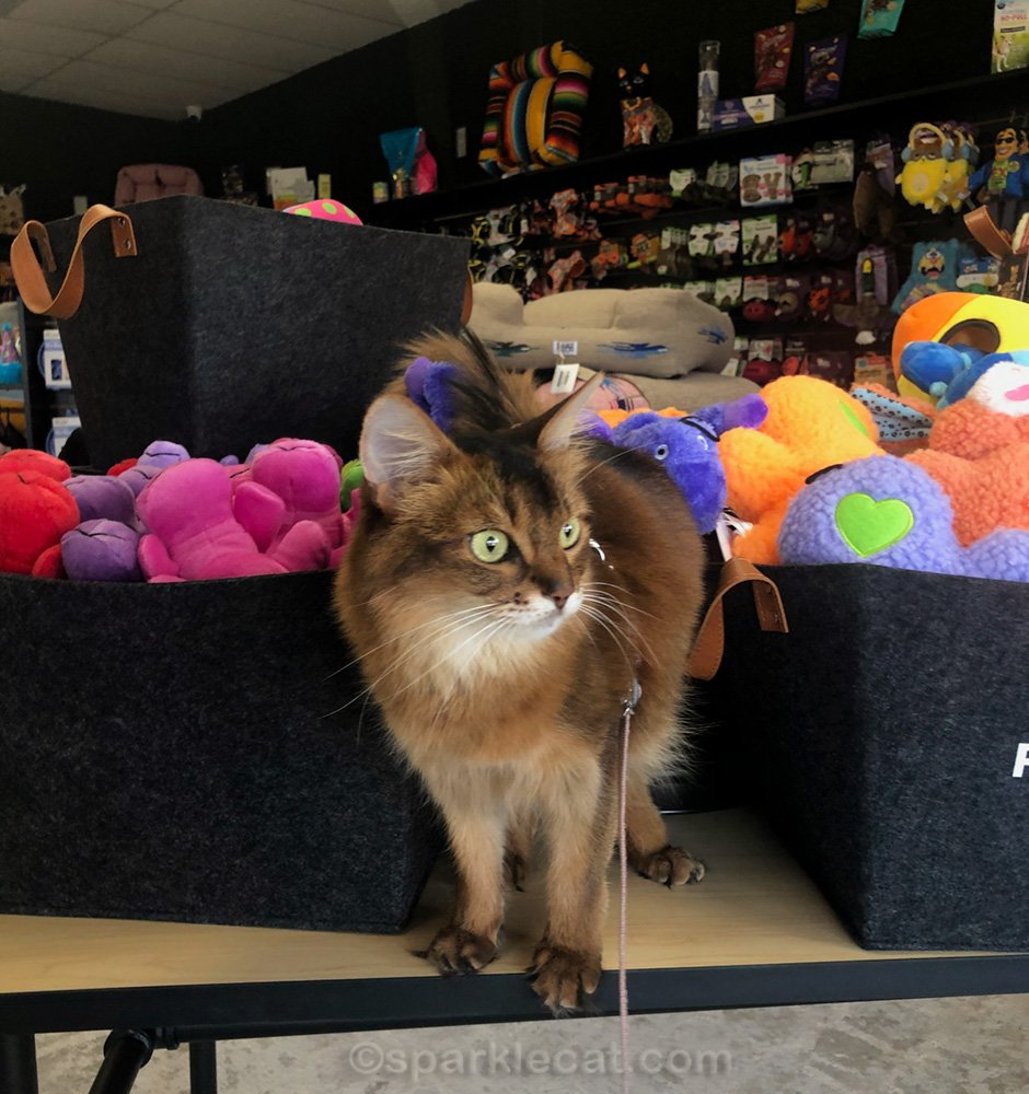 somali cat on table of toys at pet shop