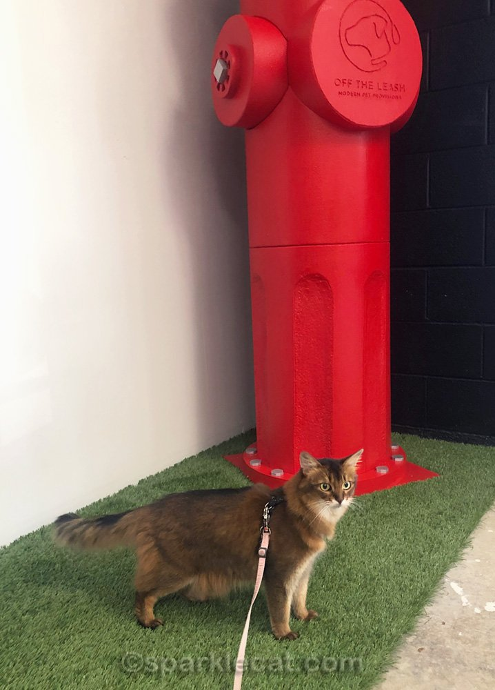 somali cat posing next to giant fire hydrant