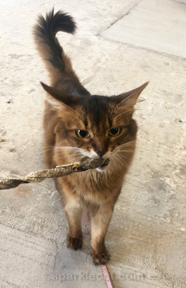 somali cat chewing on cod skin stick