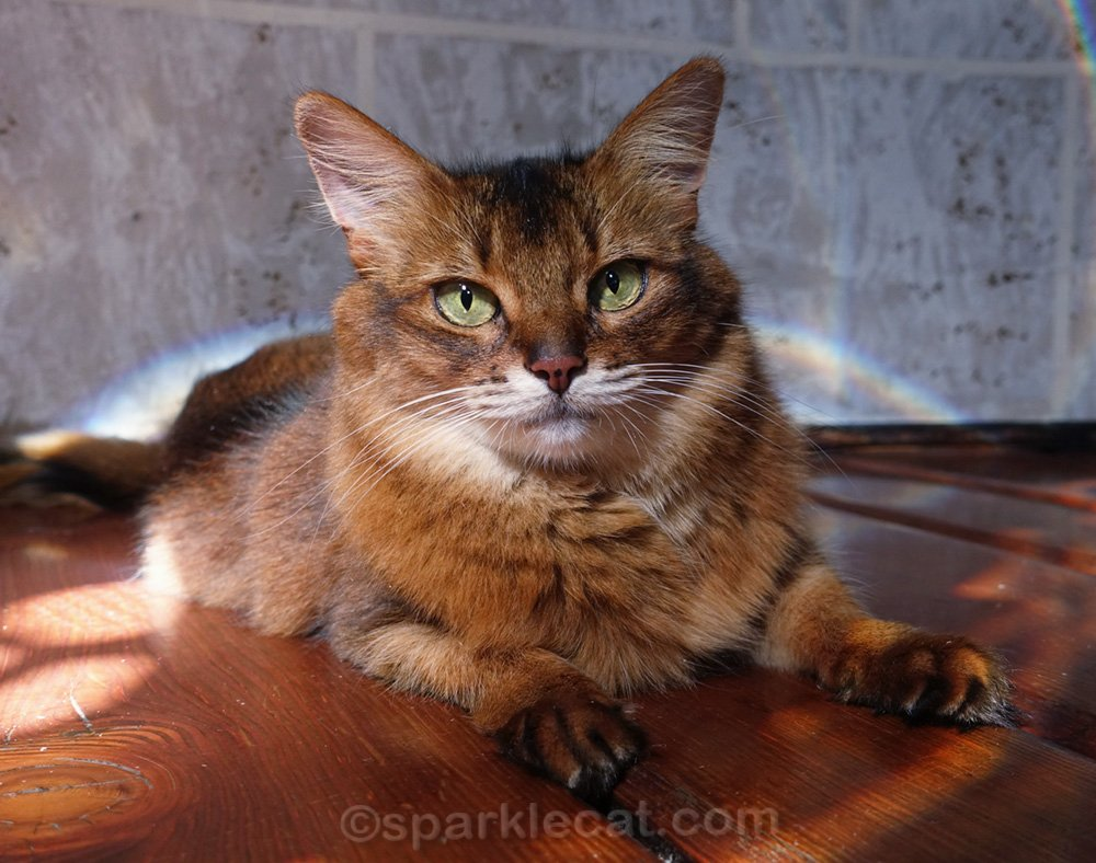 somali cat posing for a few photos during playtime