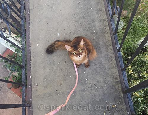 somali cat on bridge