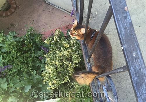 somali cat on bridge looking down into plants