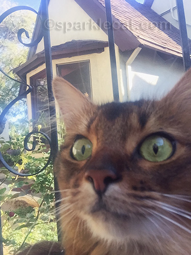 Somali cat face with house in background