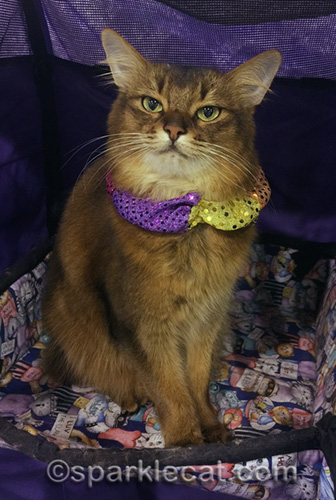 somali cat in Acro-cat collar