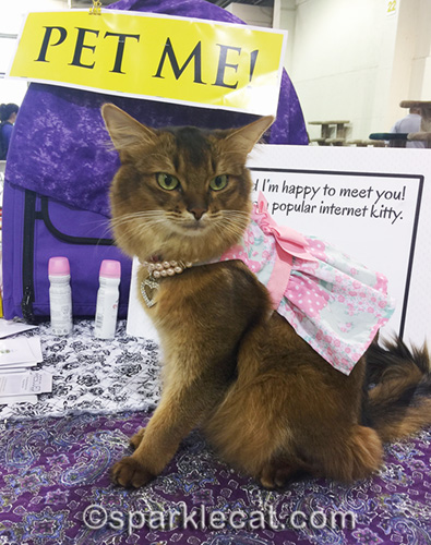 somali cat as pet me cat wearing dress and necklace