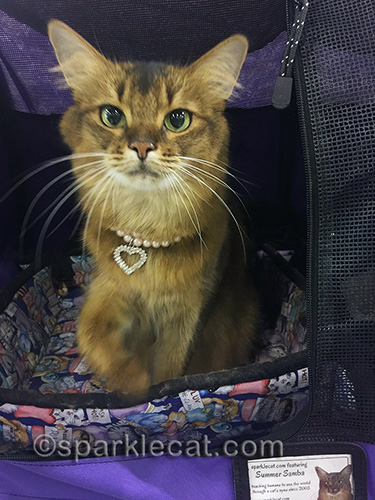 somali cat wanting to go on a walk