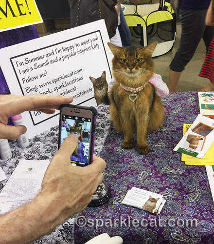 somali cat being photographed by fans