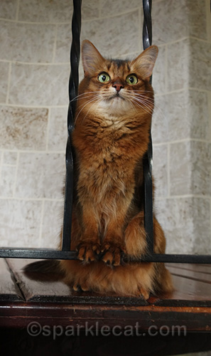 somali cat waiting for her favorite toy