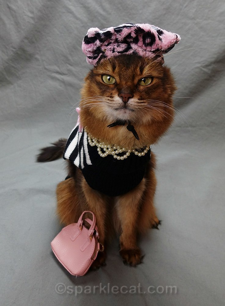 somali cat with awkward looking beret