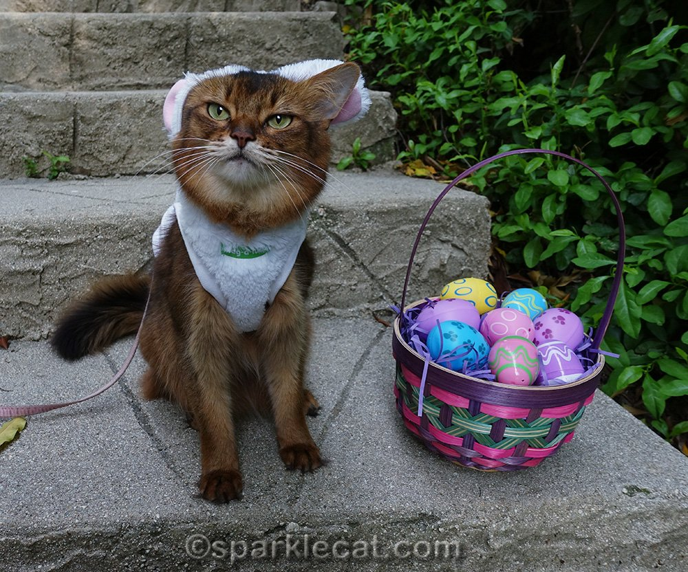somali cat with other ear sticking out of bunny costume