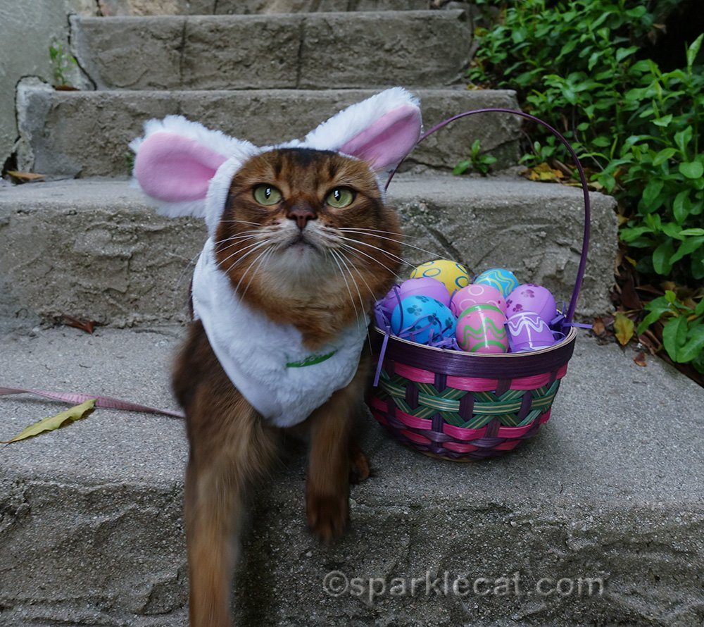 somali cat in bunny costume asking for treats