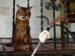 somali cat with tongue out, playing with skull wand toy