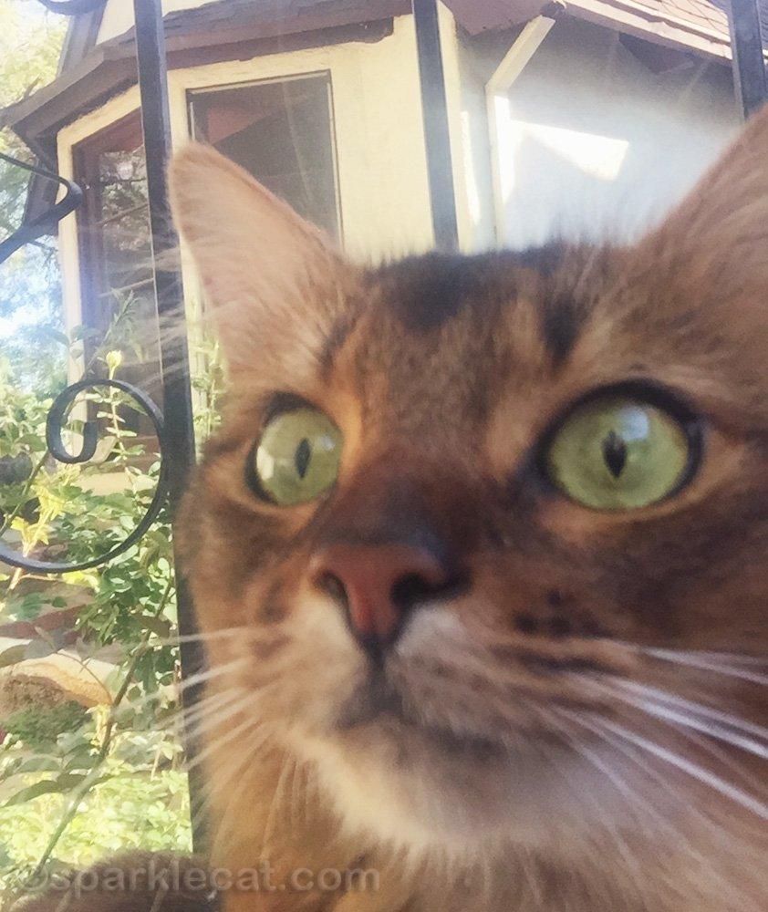 somali cat selfie looking wide-eyed