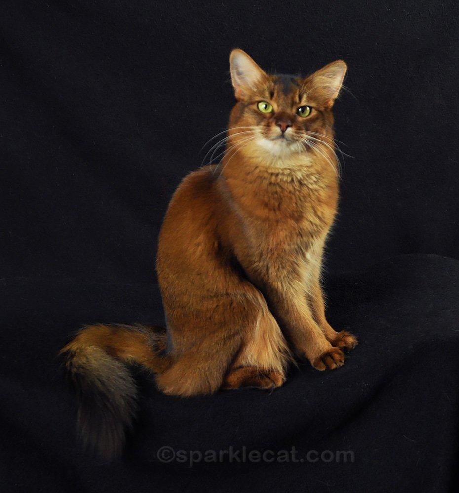 somali cat posing for photos