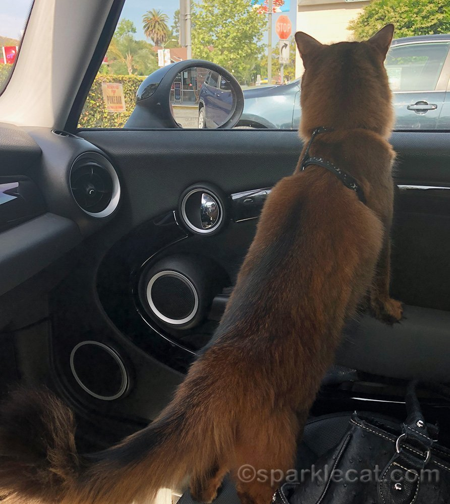 somali cat in car, about to go to pet store