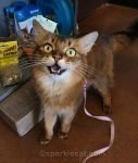 somali cat excited to be at pet store