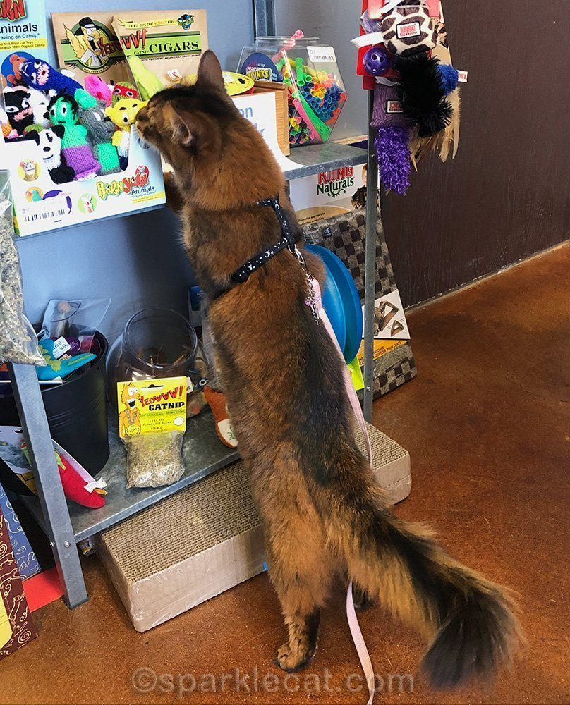 somali cat sniffing new catnip toys at pet store