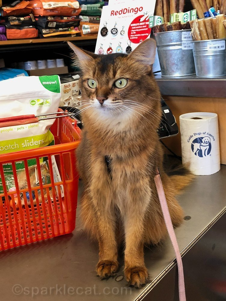 somali cat sitting on counter at pet shop