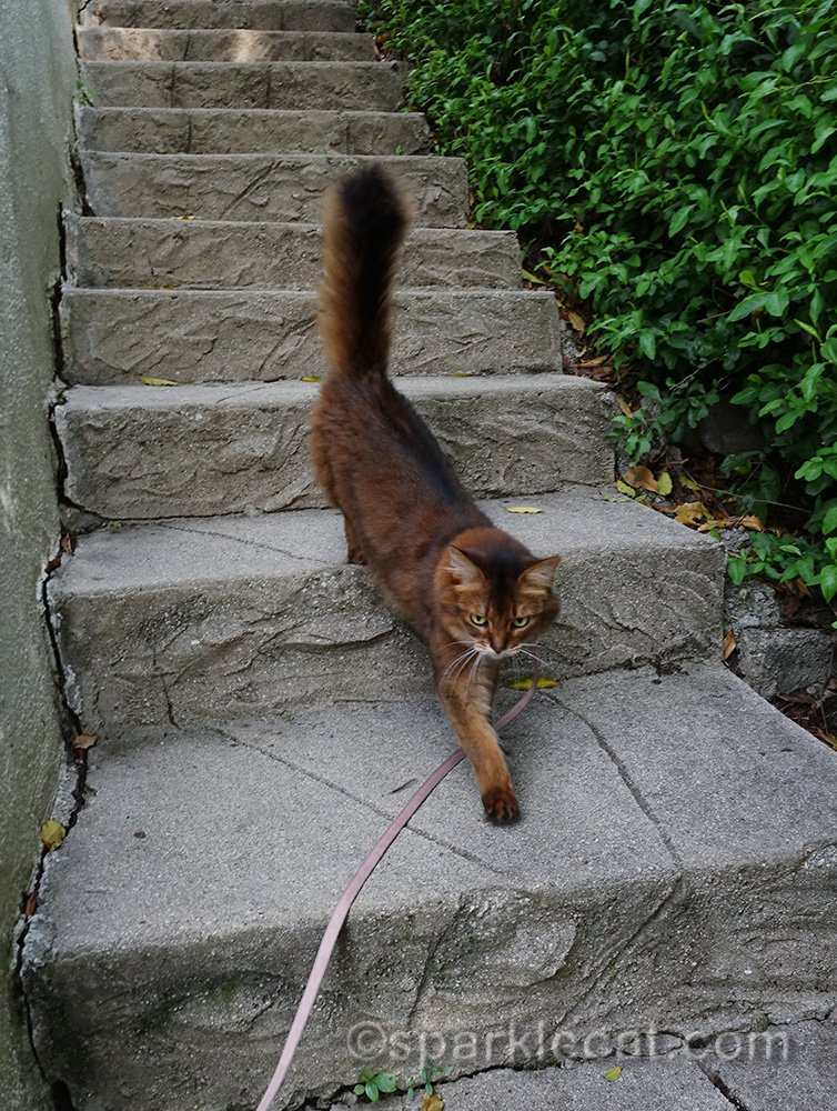 Somali cat running down concrete stairs