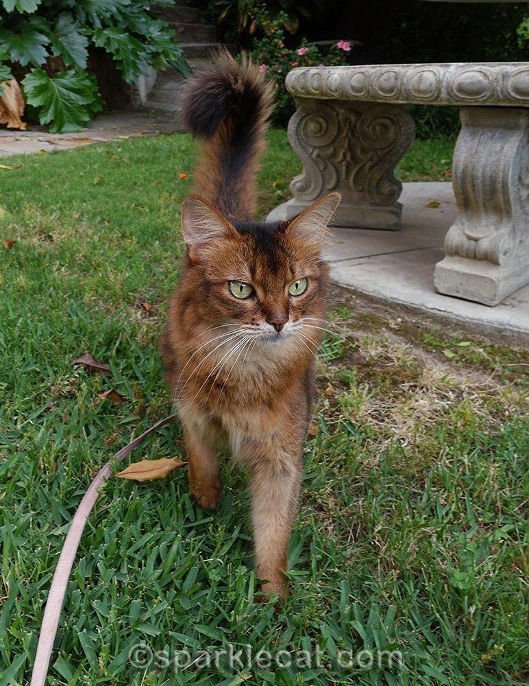 somali cat in grass in front yard
