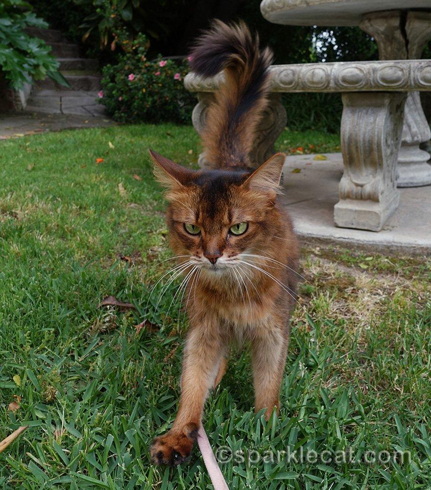 somali cat walking through grass