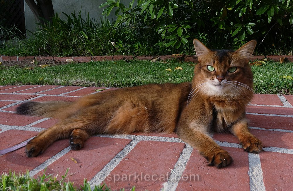 somali cat relaxing on the warm pavement