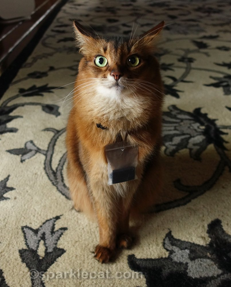 Somali cat with funny dramatic expression on her face