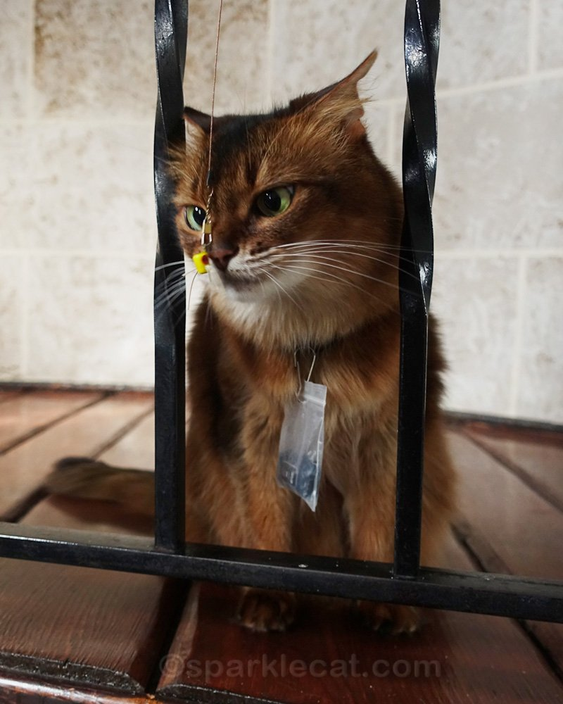 somali cat staring intently at small, dangling cat toy