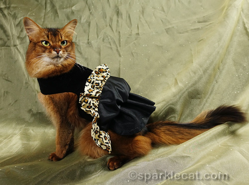 somali cat showing off black petticoat for fancy cat dress