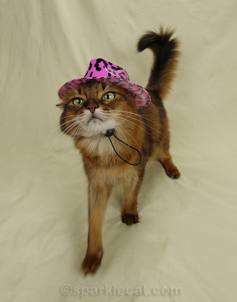 somali cat with bad hat, asking for double pay