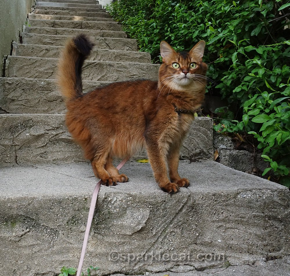 somali cat on a leash, at attention