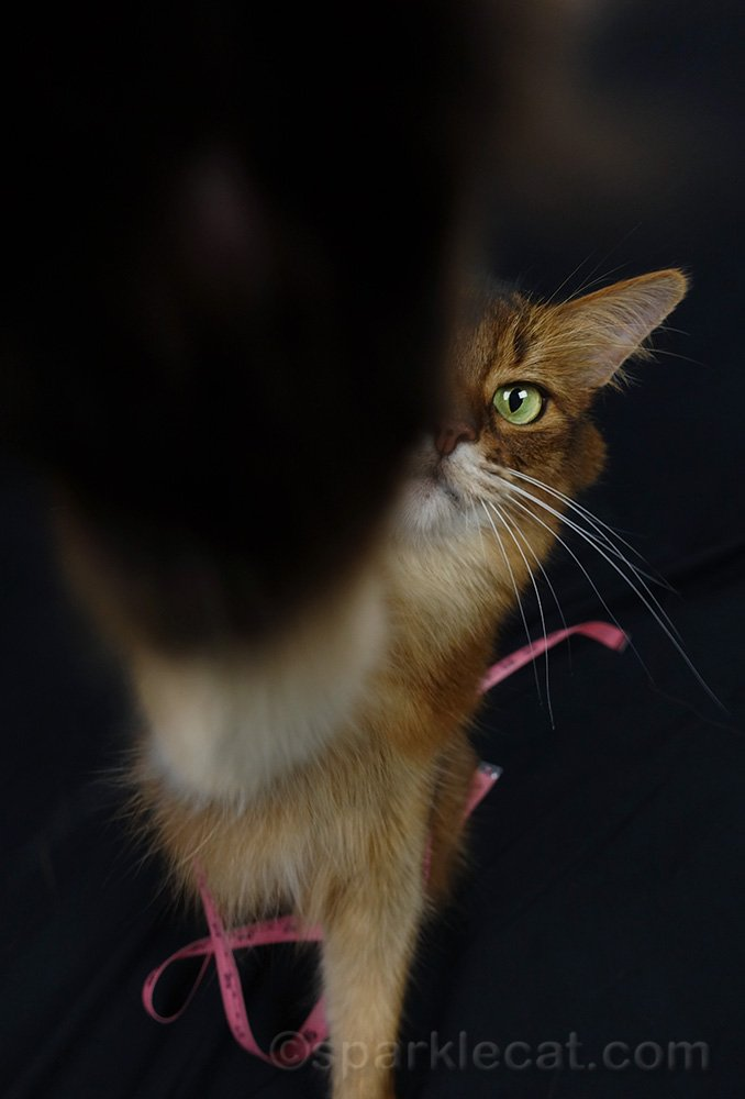 somali cat with paw over camera lens