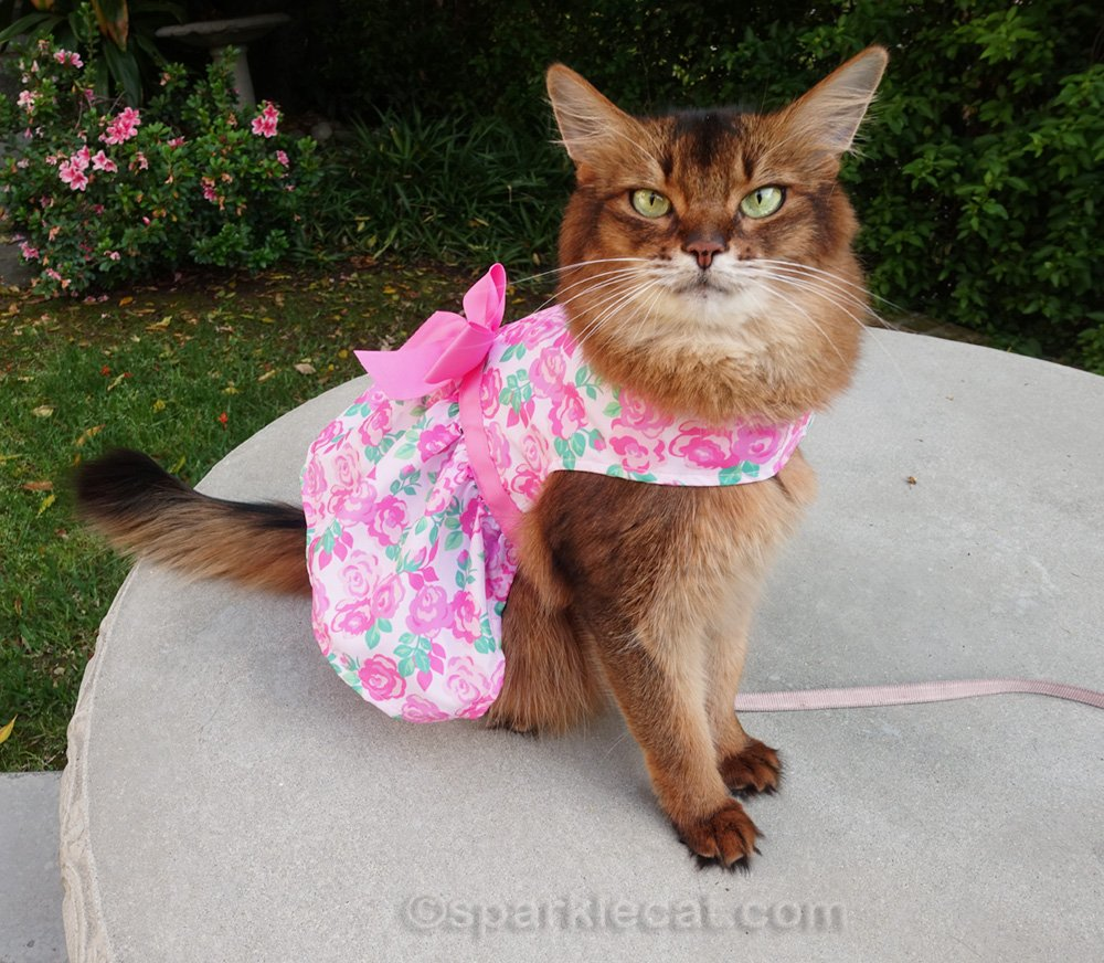 somali cat wearing cute pink spring dress