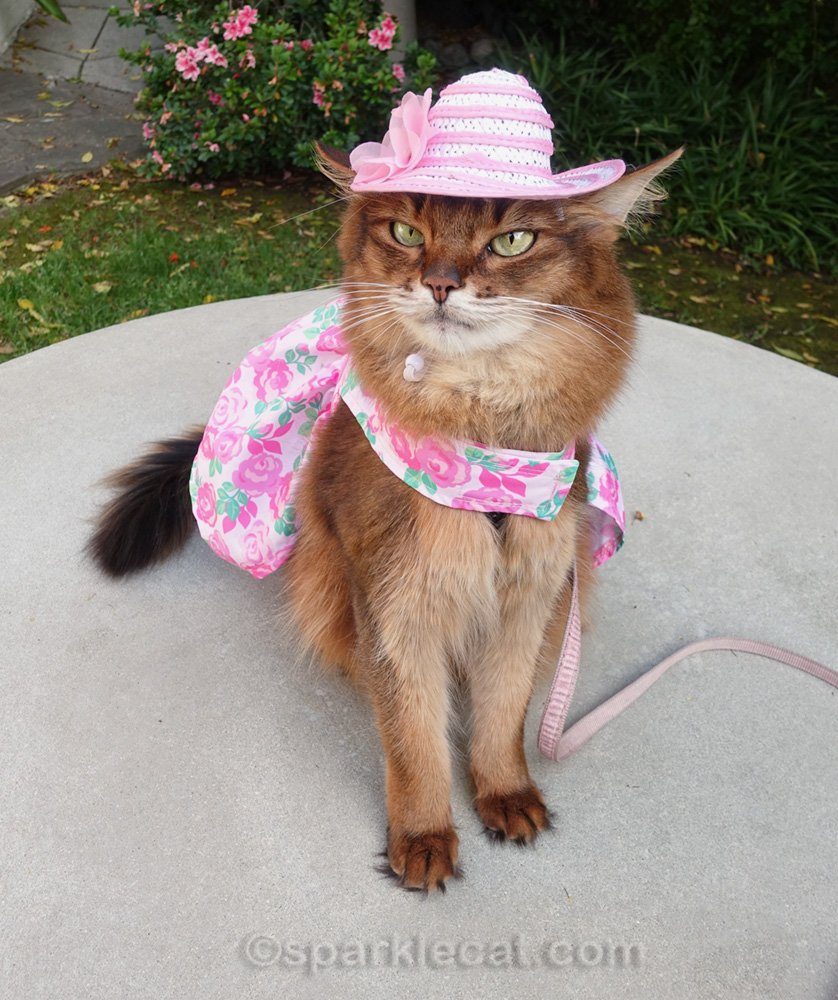 somali cat wearing spring dress and ill-fitting hat