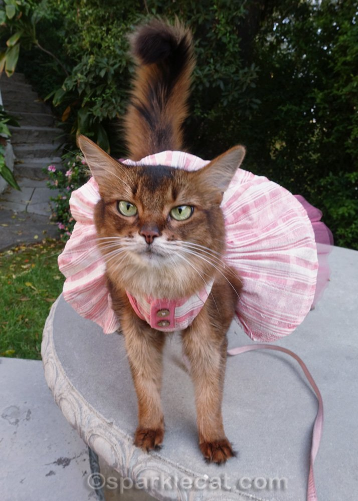 somali cat showing off flouncy skirt of dress