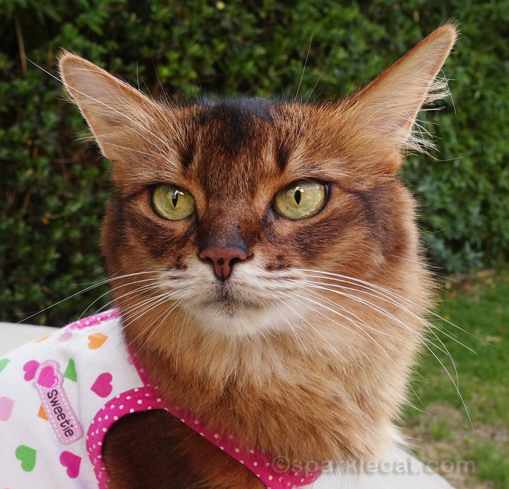 somali cat showing off name tag on dress