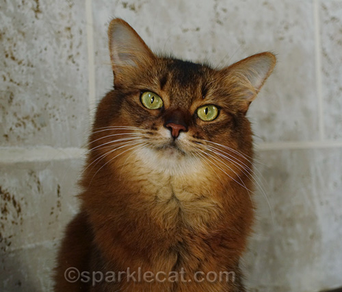 somali cat for Purina and National Pet Month