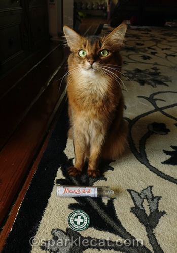 somali cat with Meowijuana catnip