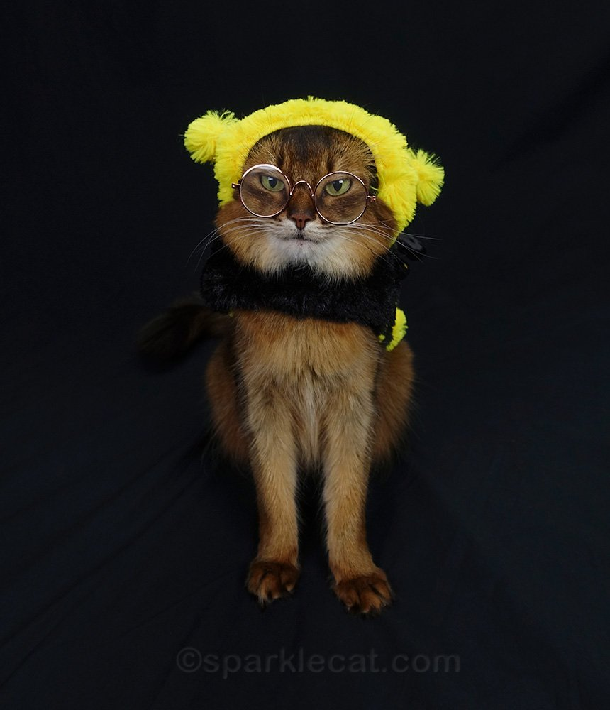somali cat with bee girl costume and eyeglasses