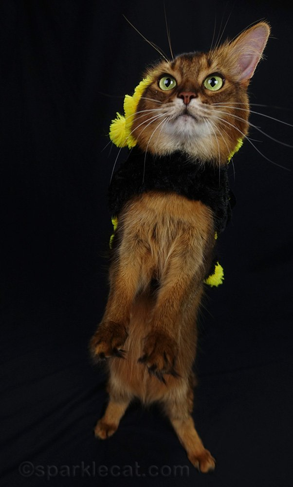 somali cat in bee costume trying to tap dance