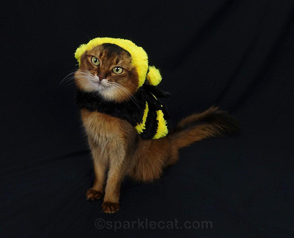 very patient Somali cat in bee girl costume