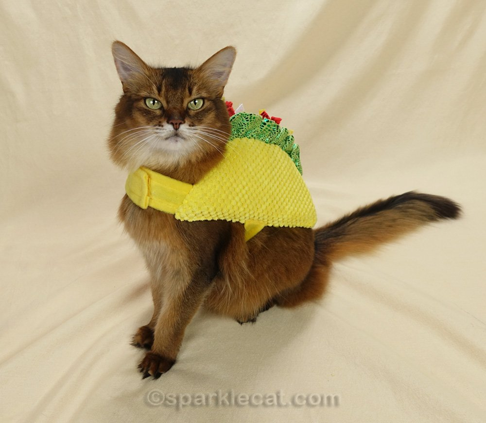 somali cat wearing a taco outfit.