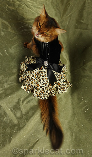 somali cat with tongue out during fashion photo shoot