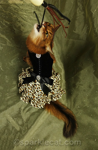 somali cat playing with cat toy during photo session