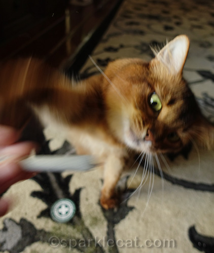 crazy cat playing with catnip joint