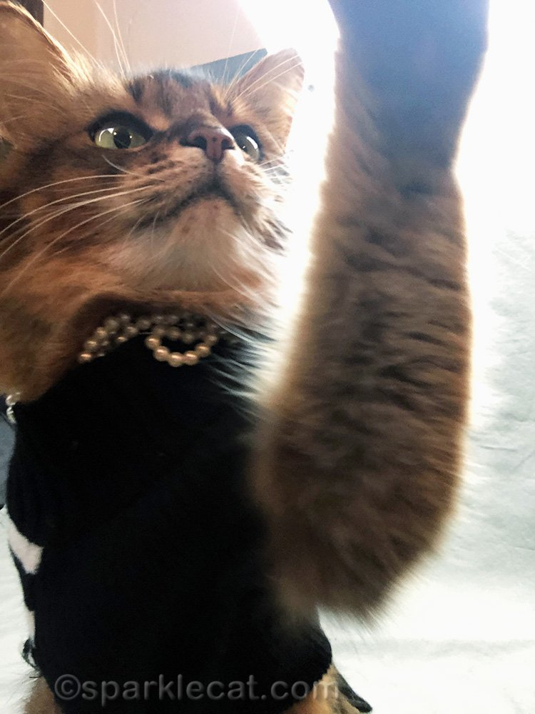 somali cat adjusting iPhone for cat style selfie