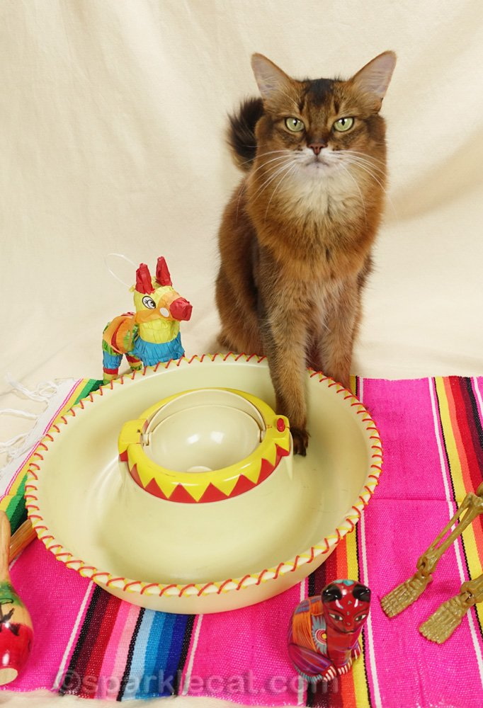 somali cat with paw indicating empty fiesta bowl