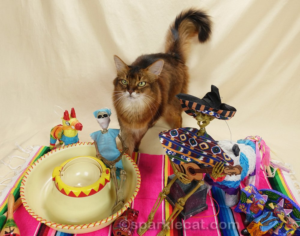 somali cat not thrilled with party guests