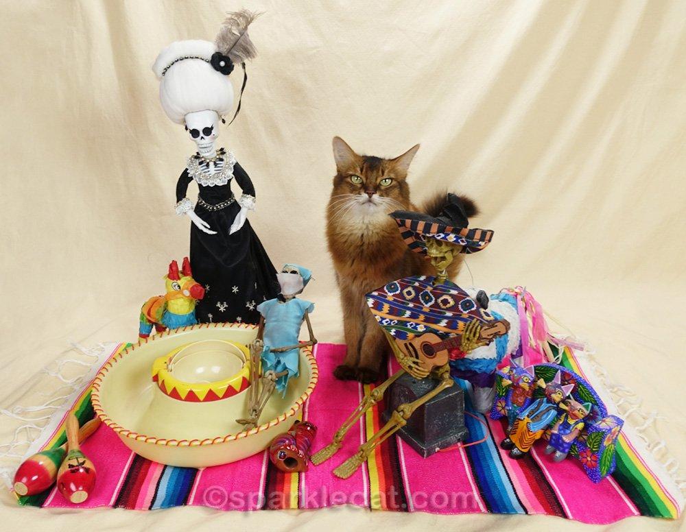 somali cat not happy that La Suegra showed up at cinco de mayo party